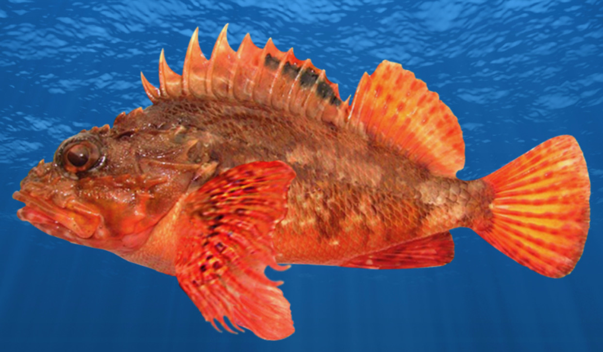 New species Eastern Red Scorpion Fish new juvenile phase Black Spotted Rock Cod