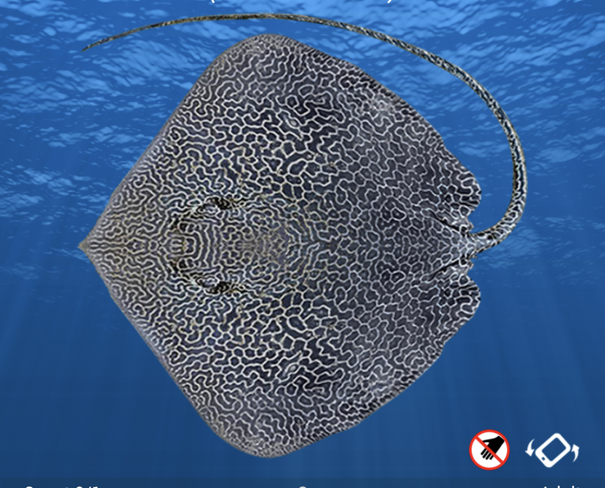 New species Australian Stingray new colour phase Little Jewfish