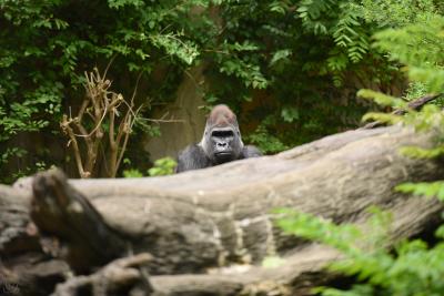 |Gorilla Gaze|