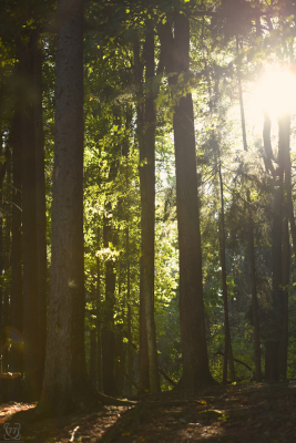 |Sunlight Forest|