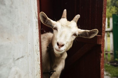 Leaders – Please, Don't Feed the Goat!  Be the GOAT.  Manage Conflict.