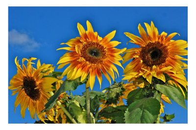 Gary's Sunflowers