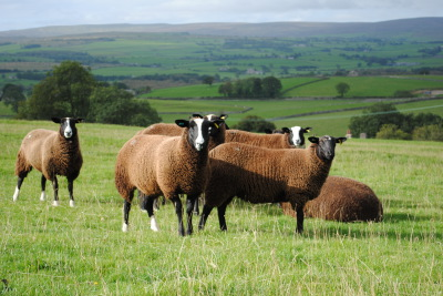 sheep, farming, for sale, lamb, zwartble, zwartbles, blue texel