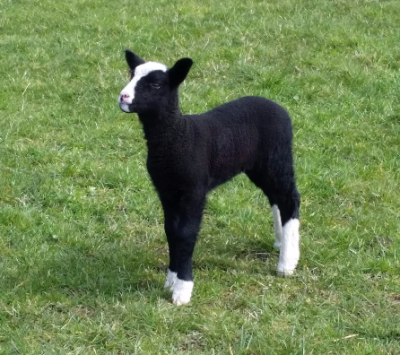sheep, ewe, tup, ram, for sale, pedigree, zwartble, zwartbles, blue texel