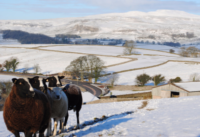 sheep, snow, rawlinshaw