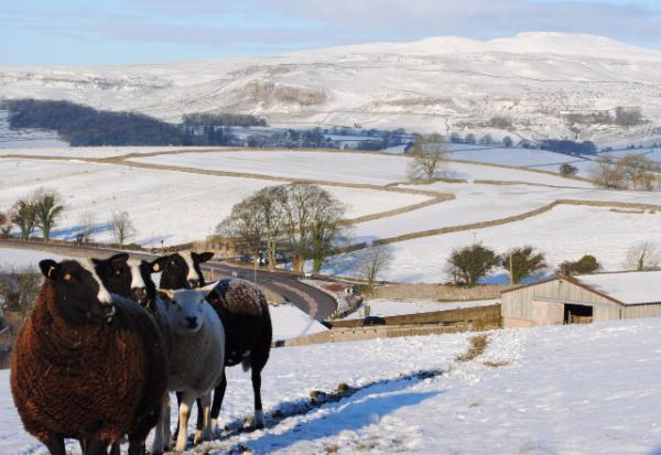 sheep, snow, rawlinshaw
