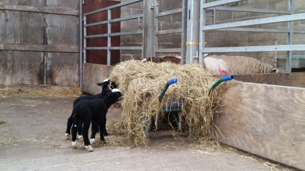 Spots cheeky lambs