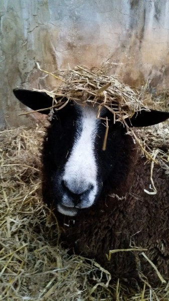 sheep, Zwartble