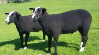 zwartble ram for sale