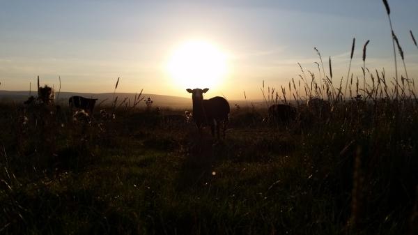 Zwartbles, sheep, sunset