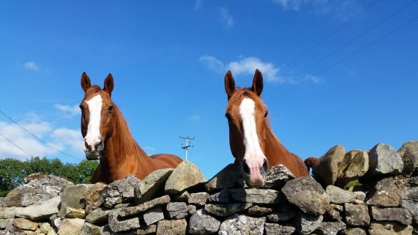 chestnut horses, livery, DIY, horses, yorkshire, lancashire, settle, ingleton