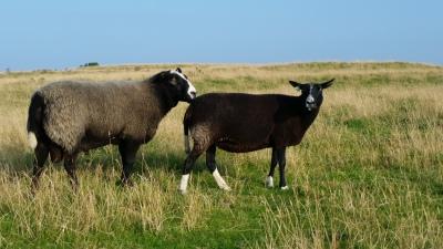 ewes, breeding, teaser ram