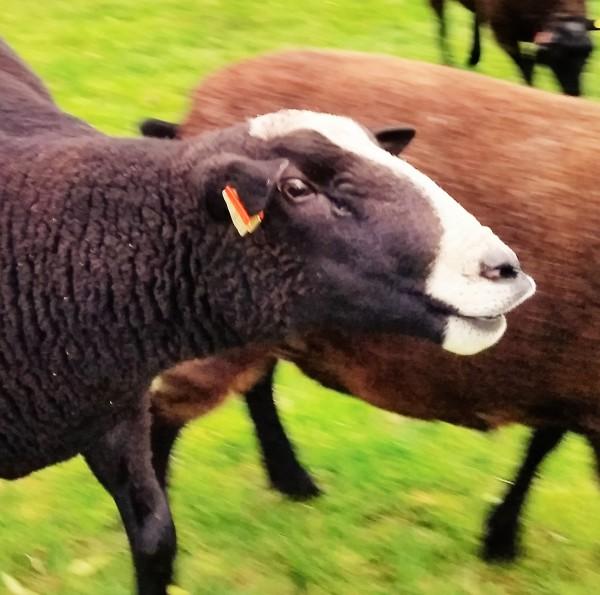 sheep flehmen