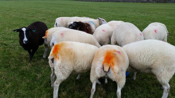 coloured sheep bottoms