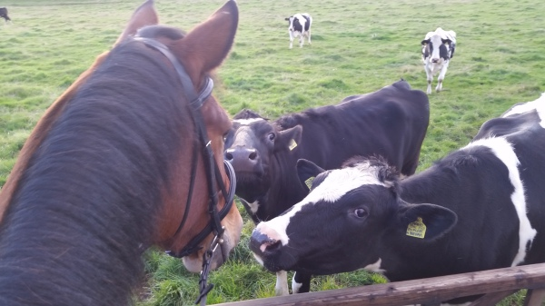 Meeting the cows