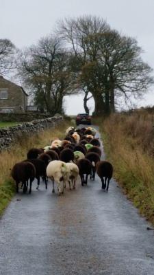 ewes, pregnant