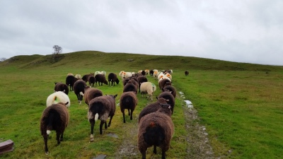 ewes returning to Brunton