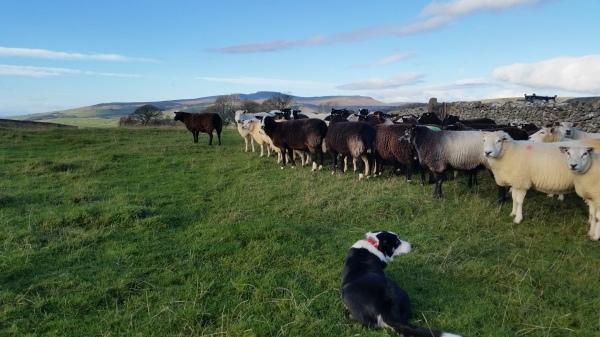 sheep, ewes
