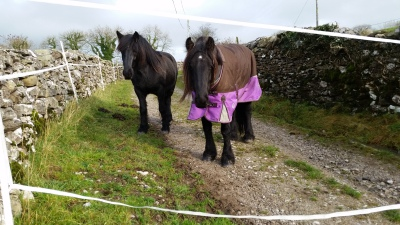 ponies, livery, yorkshire, settle