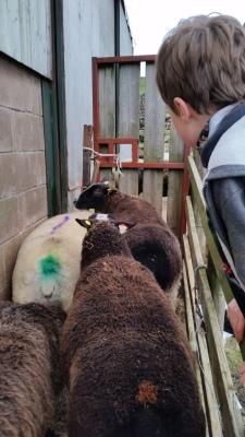 sheep, scanning, pregnancy