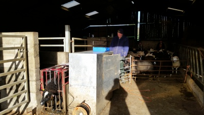sheep, scanning time, pregnancy, lambing
