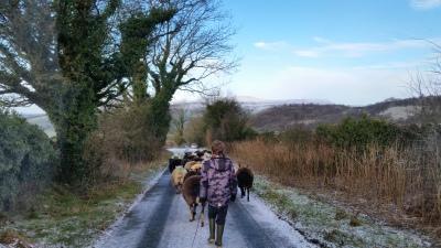 sheep, ewe, pregnancy, scanning,