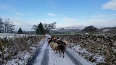 sheep, gathering, scanning time, pregnancy, lambing
