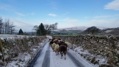 sheep, gathering, scanning time, pregnancy, lambing