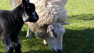 sheep, lambing, olympus, yorkshire, farming, rawlinshaw