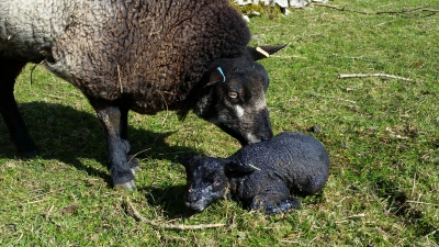 sheep, lambing, lambs, lambing time
