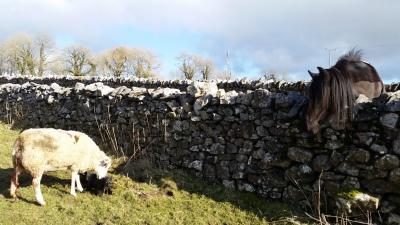 sheep, lambs, lambing time, rawlinshaw
