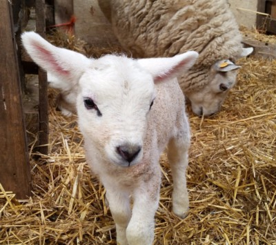 sheep, lambing time, lambs, yorkshire, sunshine
