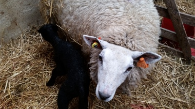 sheep, lambs, lambing time, rawlinshaw, Dumbo