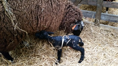 sheep, lambs, lambing time, rawlinshaw, Tiny