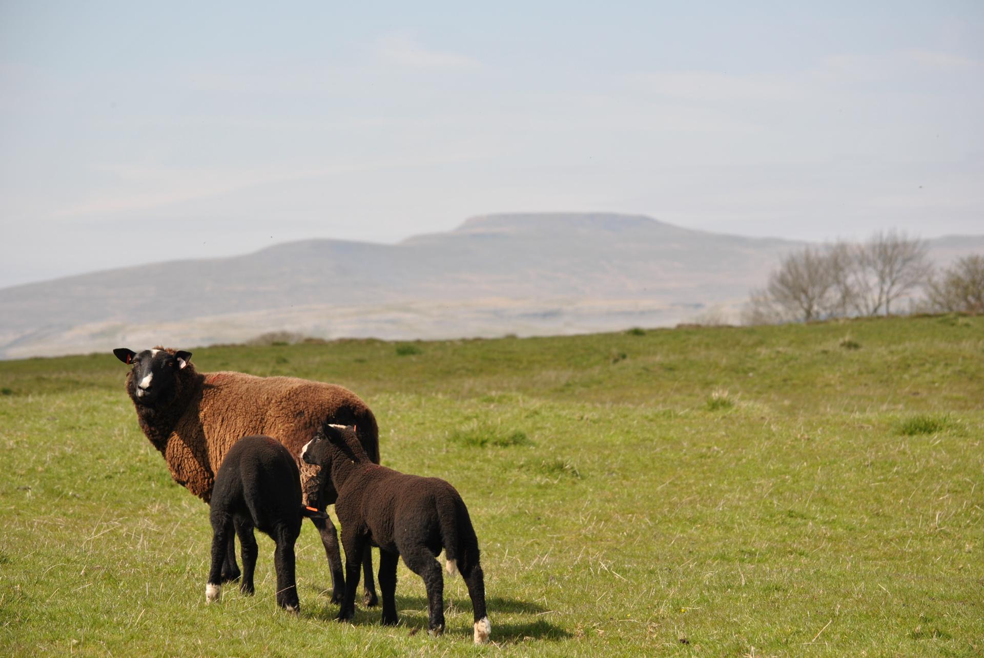 Sheep, rawlinshaw, yorkshire