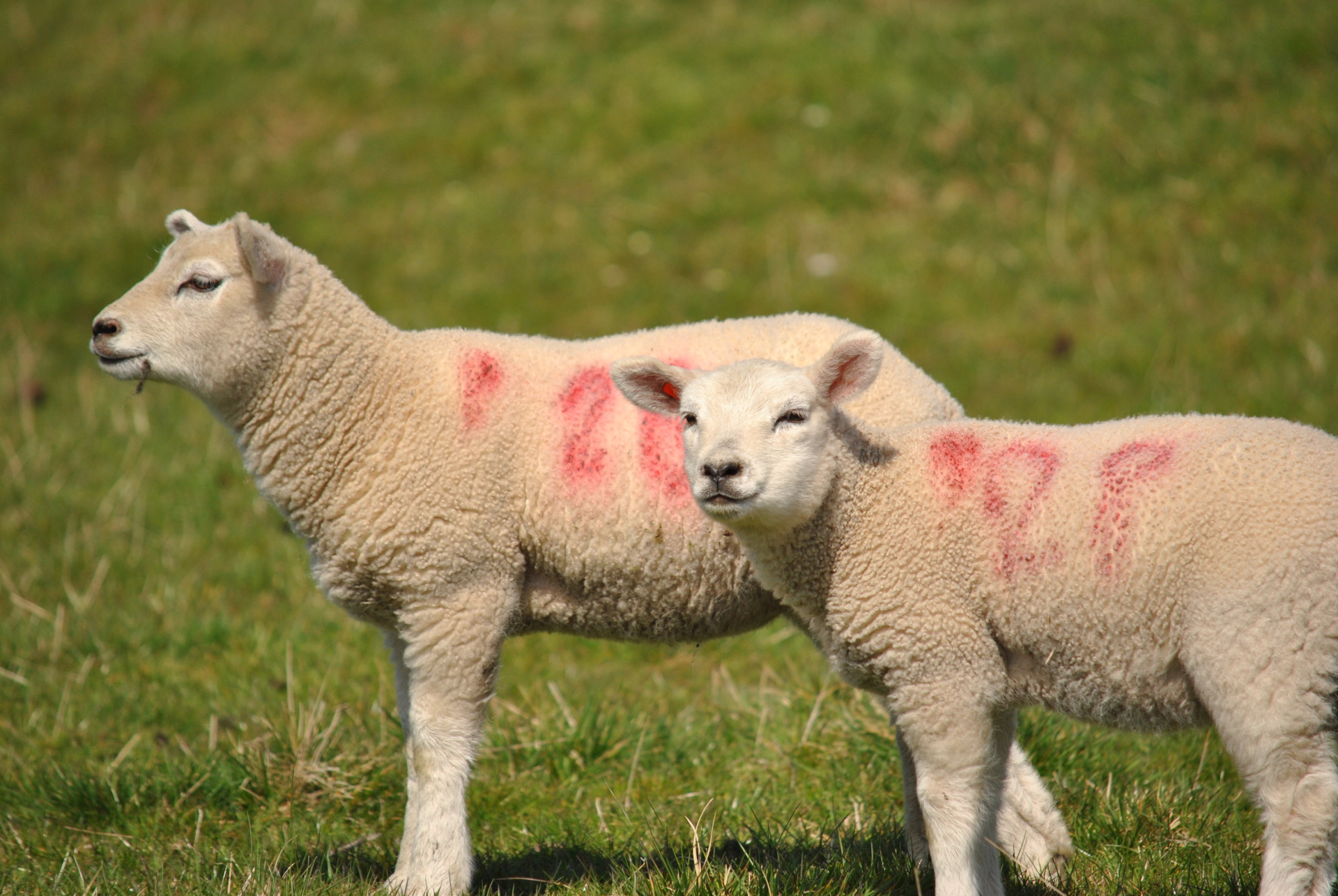 Sheep, rawlinshaw, yorkshire, texels