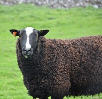 Pedigree, Registered Zwartble Ram born 2015