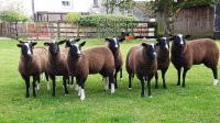 zwartble, gimmer, lambs