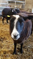 zwartble ewe