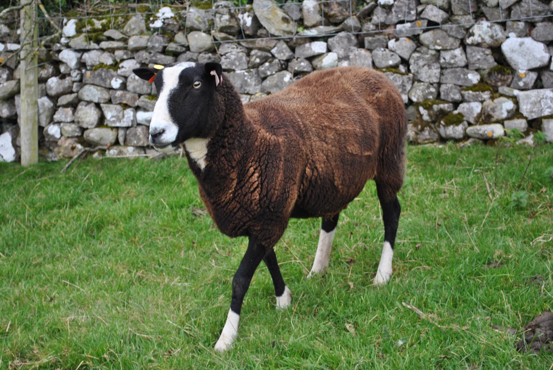zwartble ewe registered