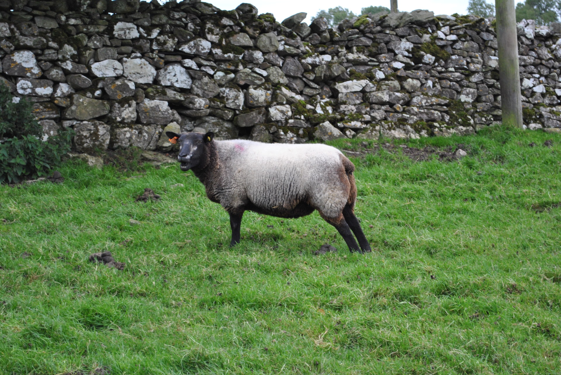 Blue texel cross for sale