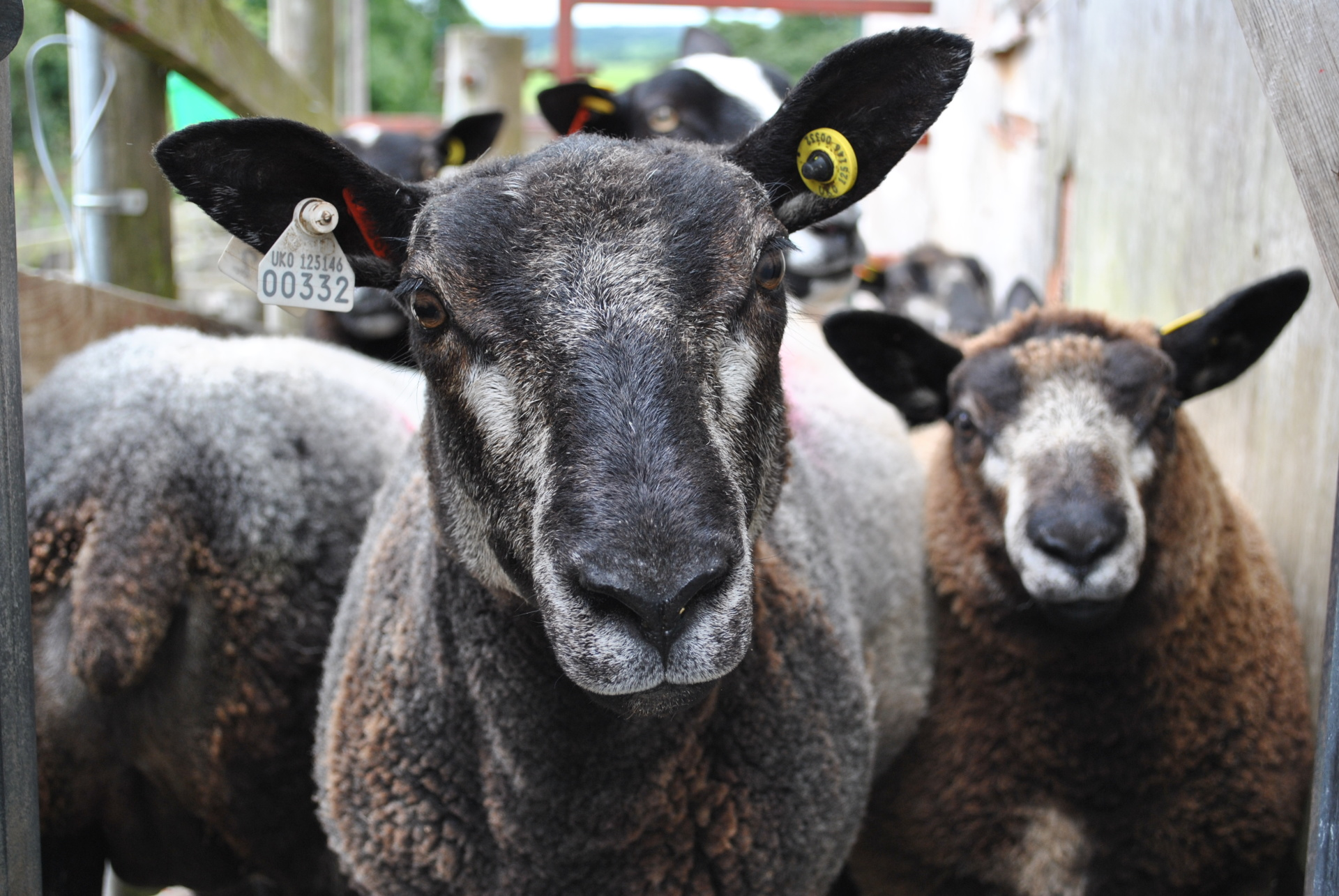 Blue Texel Crosses and Zwartbles for sale at Skipton this Saturday