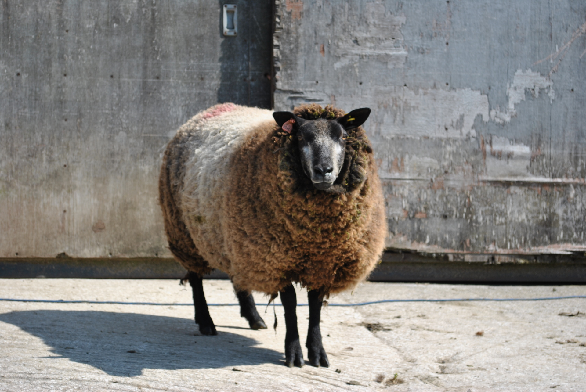 3/4 Blue Texel Hogg for sale