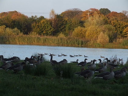 Geese by the wetlands