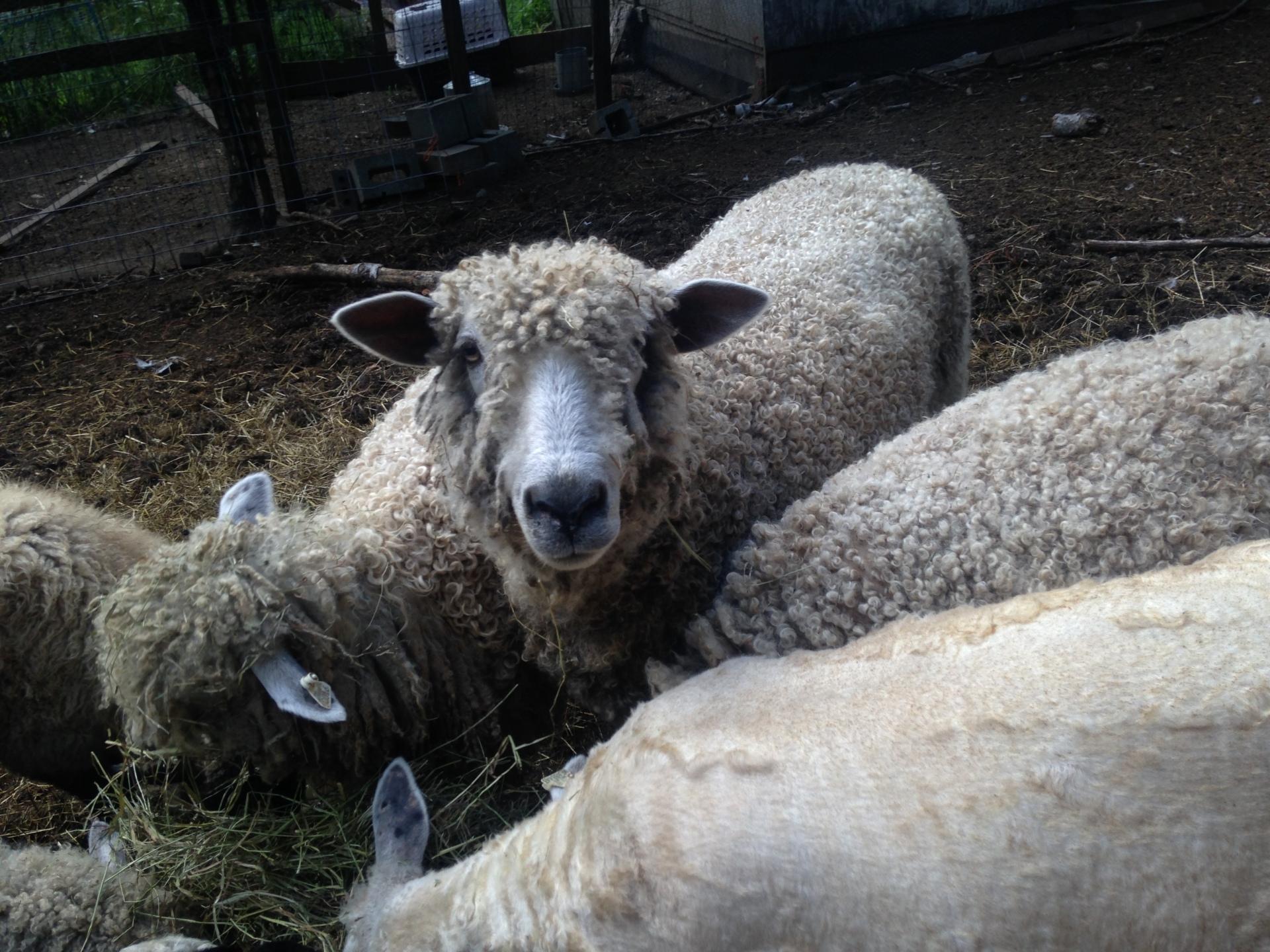 Sheep's Nose Farm 12-04 (Jangle) C/W06116 C/W05679  /  C05734