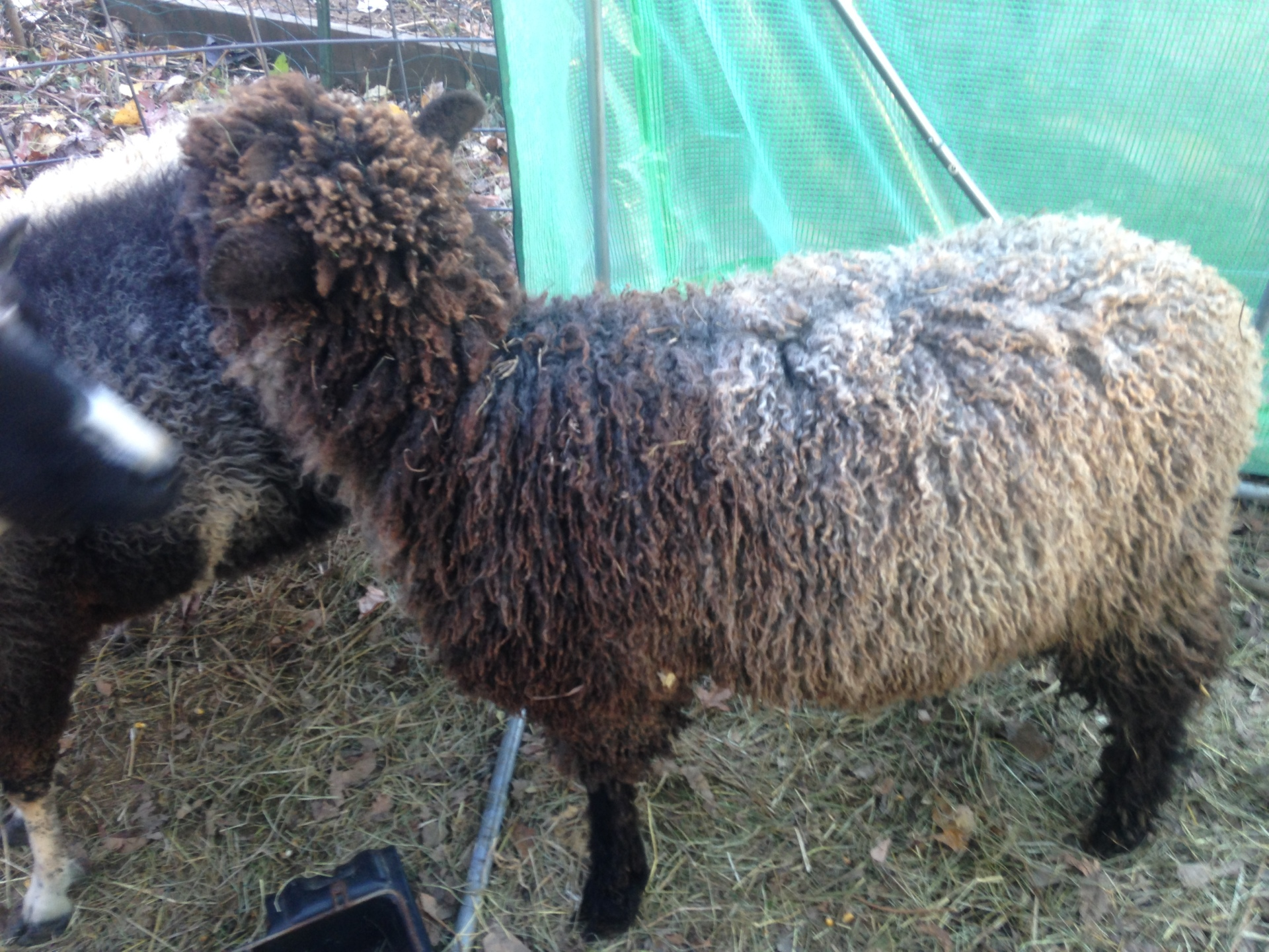 Sheep's Nose (Arlo) C07305 FOR SALE