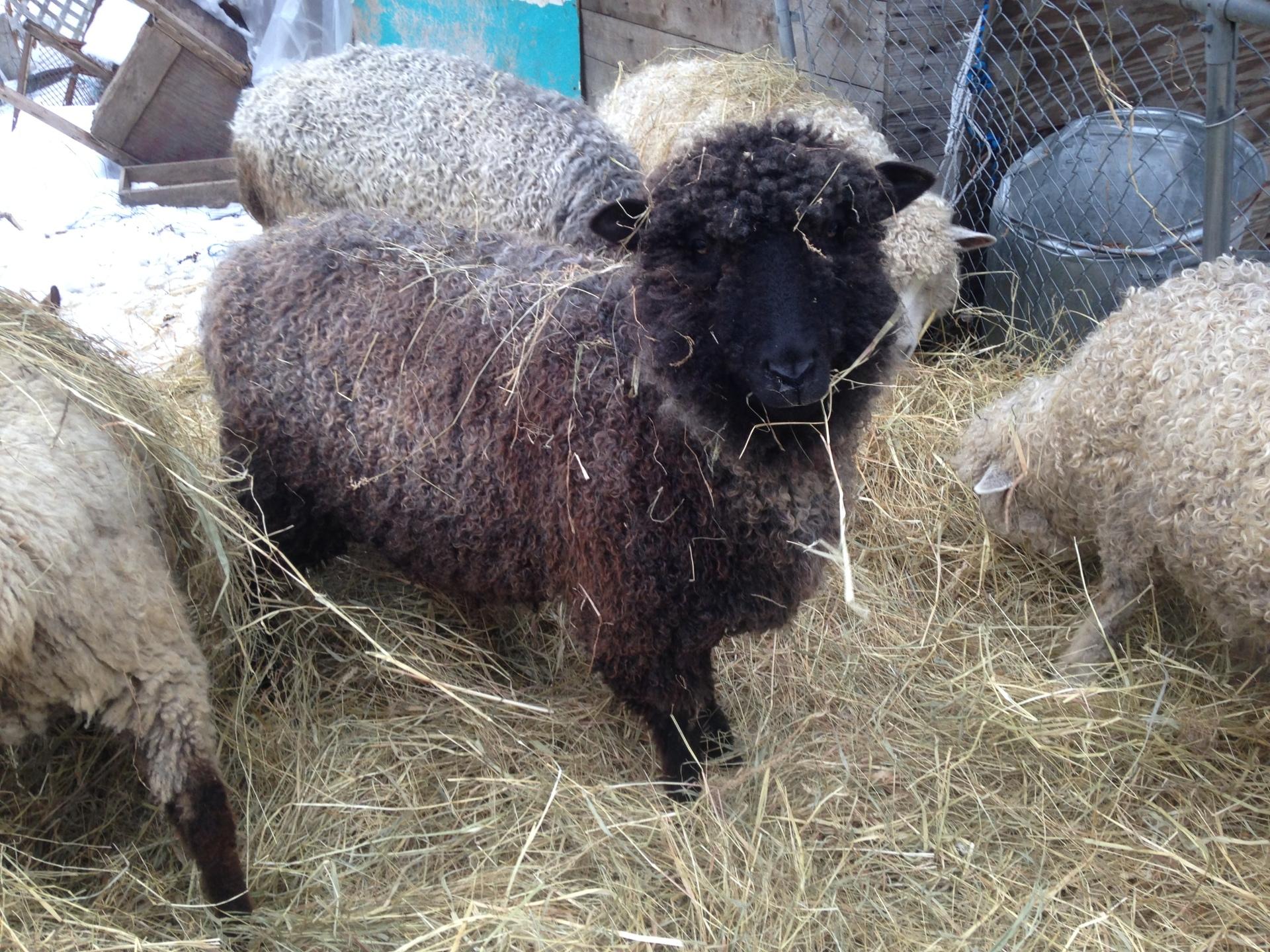 Sheeps Nose Farm EO11 (Julep) C07443 C06153 / C05458