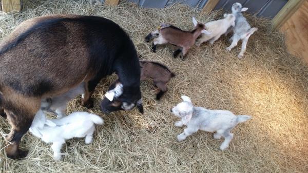 Nigerian Dwarf Mama babysitting