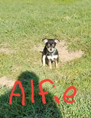 Alfie (D0560)