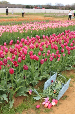 tulips, basket, field, country, colorful